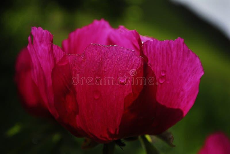 Pioenbloem met intense kleur royalty-vrije stock afbeeldingen