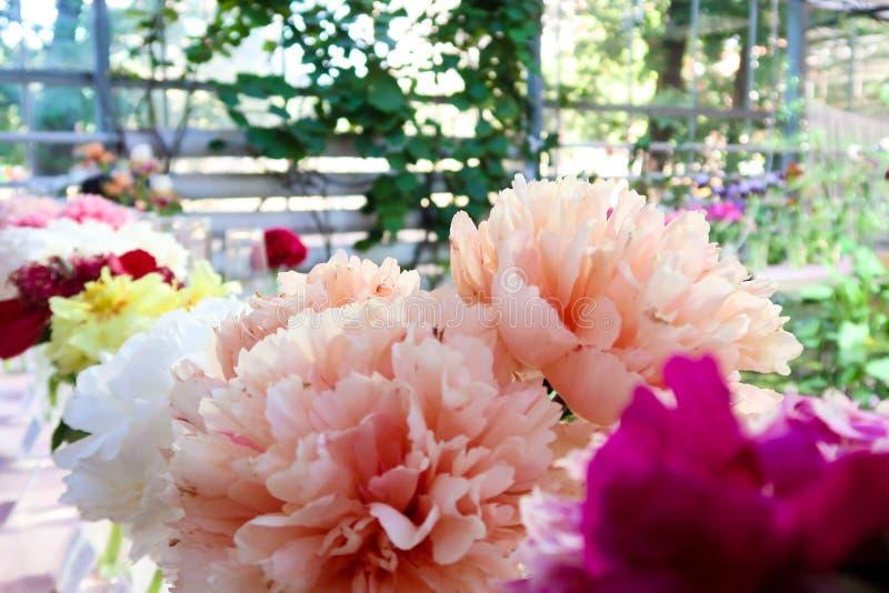 Pioenbloemen met grote en mooie roze bloemblaadjes in bloei Pioenen in de tuin van de serrezomer De achtergrond van het onduideli stock foto's