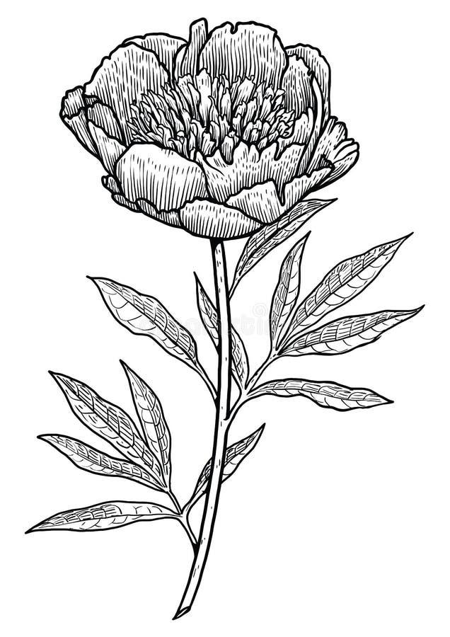 Pioenillustratie, tekening, gravure, inkt, lijnkunst, vector stock illustratie