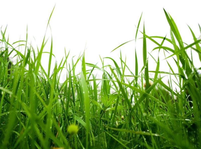 pioggia dell'erba fotografie stock libere da diritti
