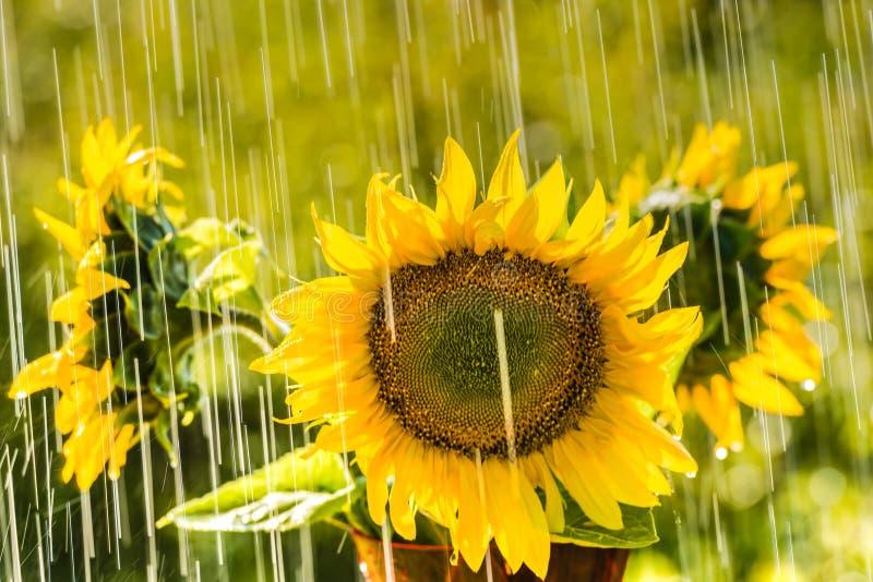 Pioggia e girasoli di estate fotografia stock libera da diritti