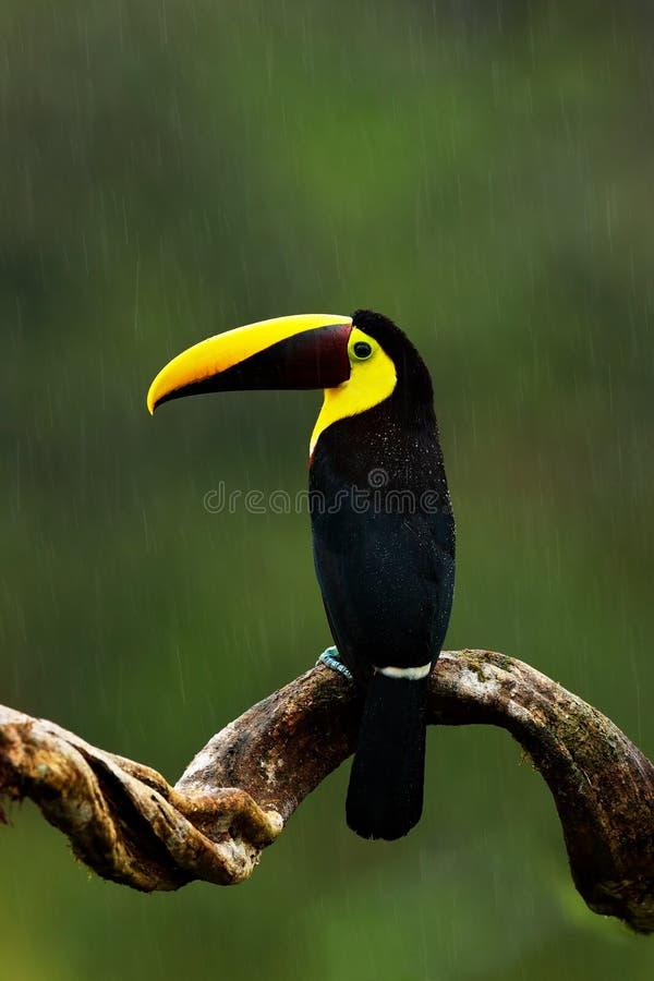 Pioggia in giungla Grande tucano di Chesnut-mandibled dell'uccello del becco che si siede sul ramo in pioggia tropicale con il fo immagini stock libere da diritti