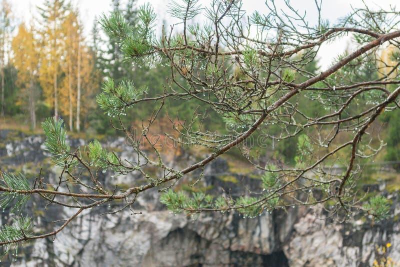 Pioggia in una foresta, gocce di acqua di Automn sugli aghi del pino fotografia stock libera da diritti