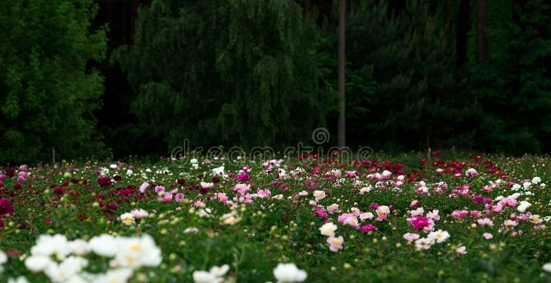 Pion τομέας Όμορφο peony λουλούδι στον κήπο στοκ εικόνες με δικαίωμα ελεύθερης χρήσης