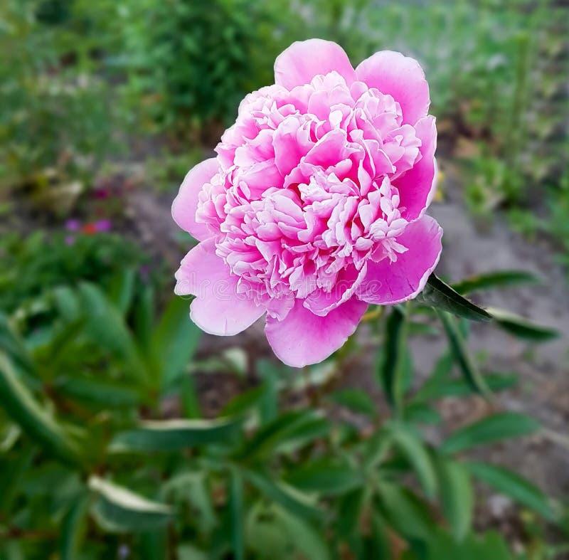 Pion cor-de-rosa bonito no jardim na temporada de verão imagem de stock