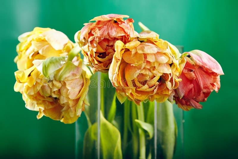 Pion eller Finola Double Tulip på grön bakgrund fotografering för bildbyråer