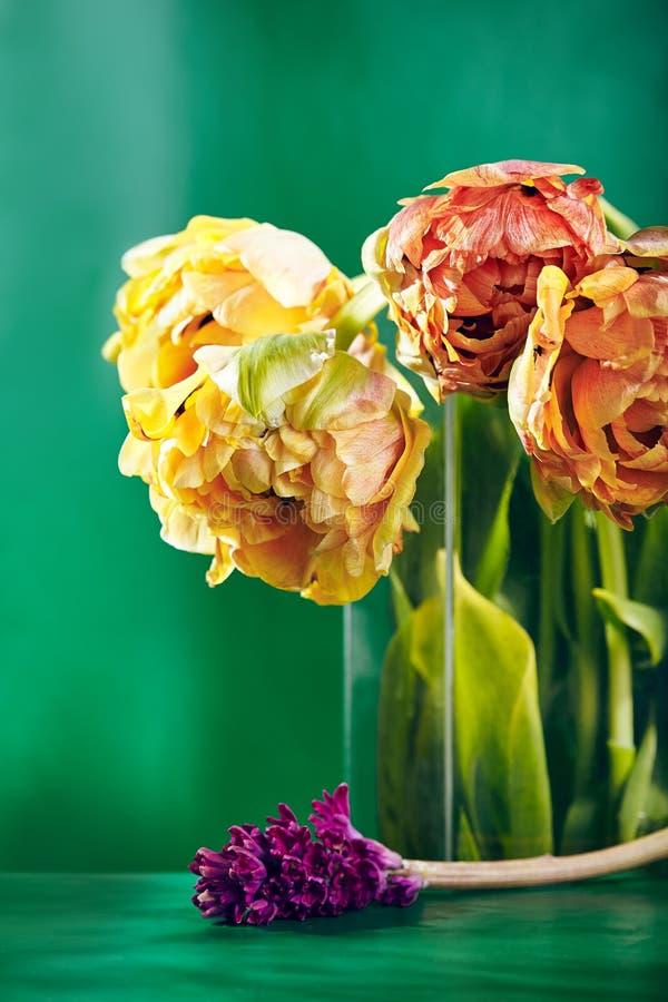 Pion eller Finola Double Tulip på grön bakgrund royaltyfri fotografi