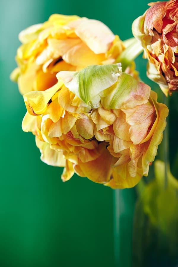 Pion eller Finola Double Tulip på grön bakgrund royaltyfri illustrationer