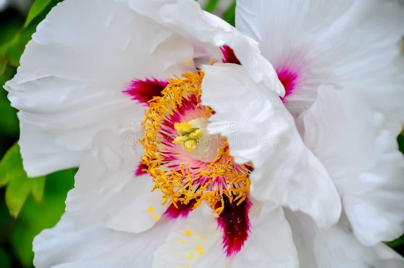 Pion H?rlig blomma i v?rtid arkivbild