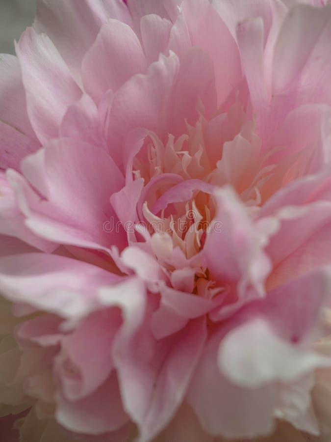Pion makro- Peonia p?atk?w zamkni?ty up Różowy delikatny miękki peonia kwiat Kwiat tekstury Selekcyjna ostrość fotografia royalty free