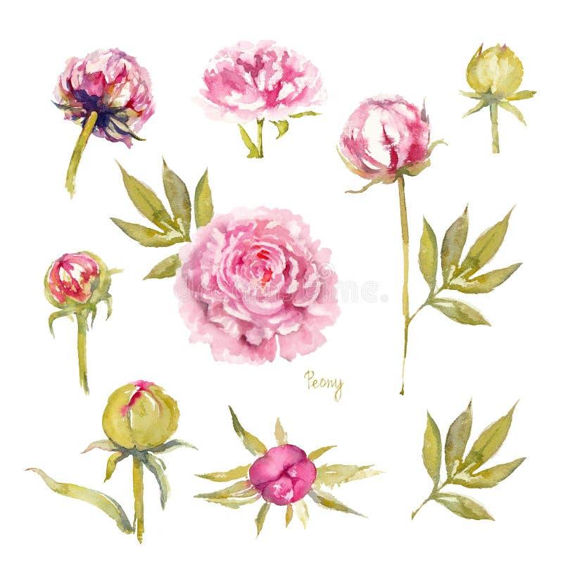 Pion Sarah Bernhardt Isolerad uppsättning av livliga rosa pioner med dubbla blommor, knoppar och sidor f?r flygillustration f?r n vektor illustrationer