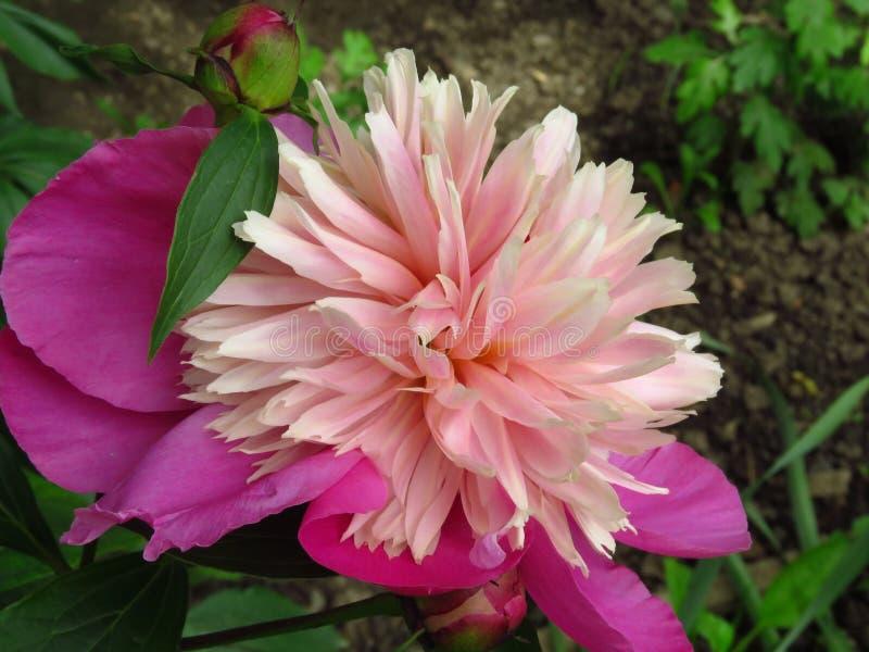 Pionblom i rosa cyklamen färgar och gröna sidor Blomma pioncloseupen arkivbild