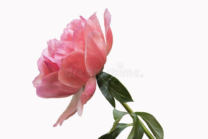 Pionblomma - m?nga i lager kronblad Blek grupp - rosa pionblomma som isoleras på vit bakgrund royaltyfria bilder