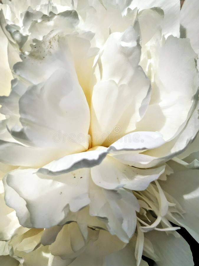 Pionblomman blomstrade Närbild av vita och delikata kronblad royaltyfria bilder