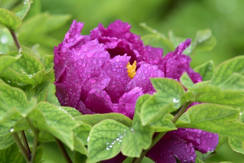 Pionen, den nationella färgen, konungen av blommorna, royaltyfria bilder
