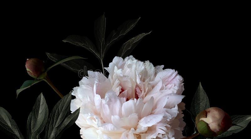 Pioner för vita blommor för foto på svart bakgrund stock illustrationer