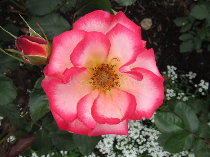 Pioner och rosor 5 arkivfoto