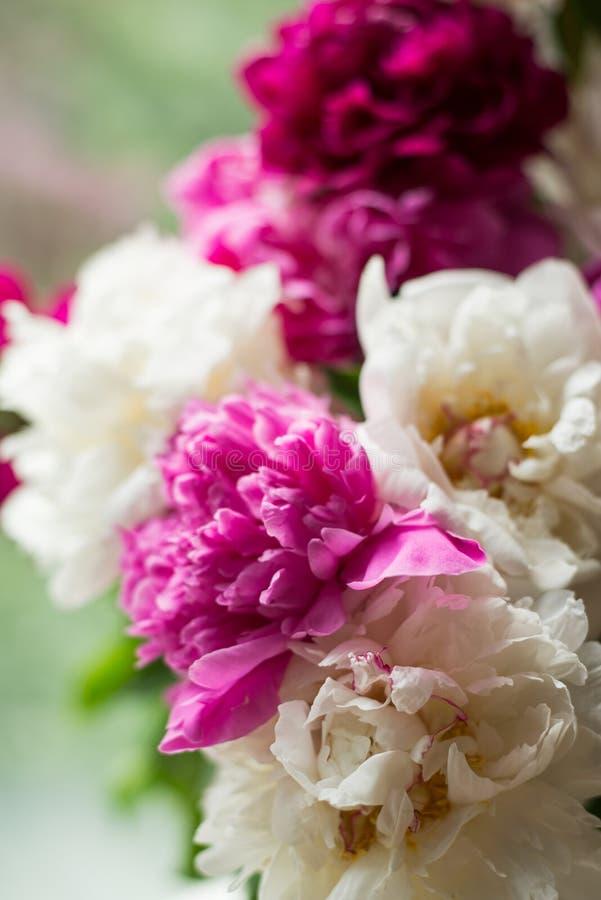 Pionies bonitos perto da janela Bandeira das flores Background imagens de stock royalty free