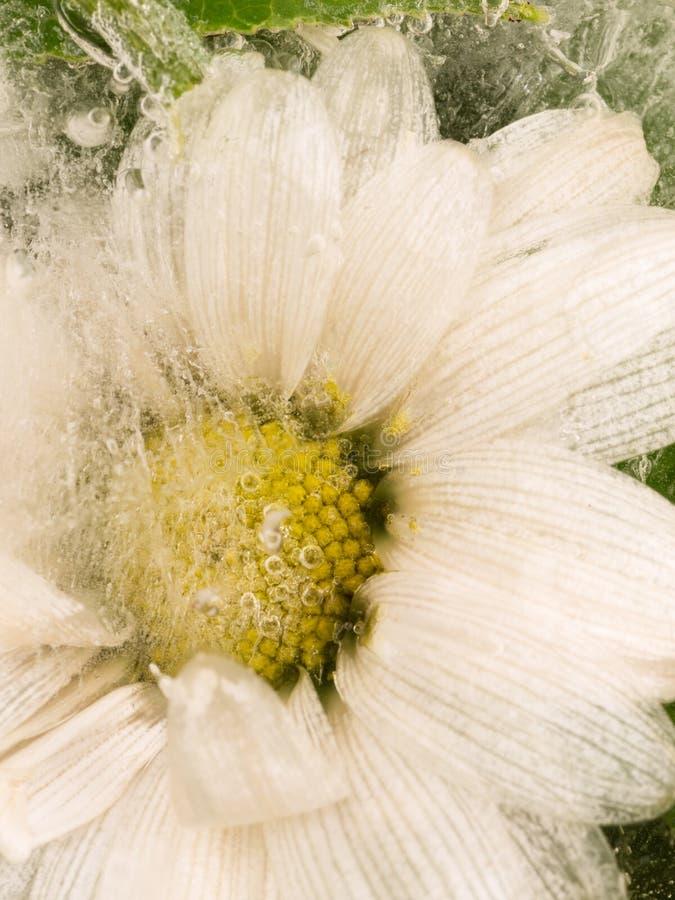 Pionowo abstrakcja stokrotka kwiat zdjęcie royalty free
