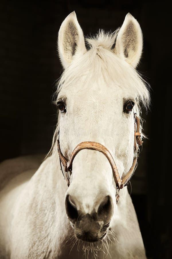 Pionowo czołowy portret biały koń na czarnym odosobnionym tle fotografia royalty free