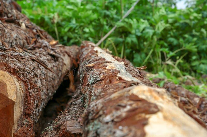 Pionowo drzewnego bagażnika brązu świeża piłująca ciężka korowata sosna na tle zielonej trawy zbliżenia ostrość na odgórnym punkc zdjęcie stock