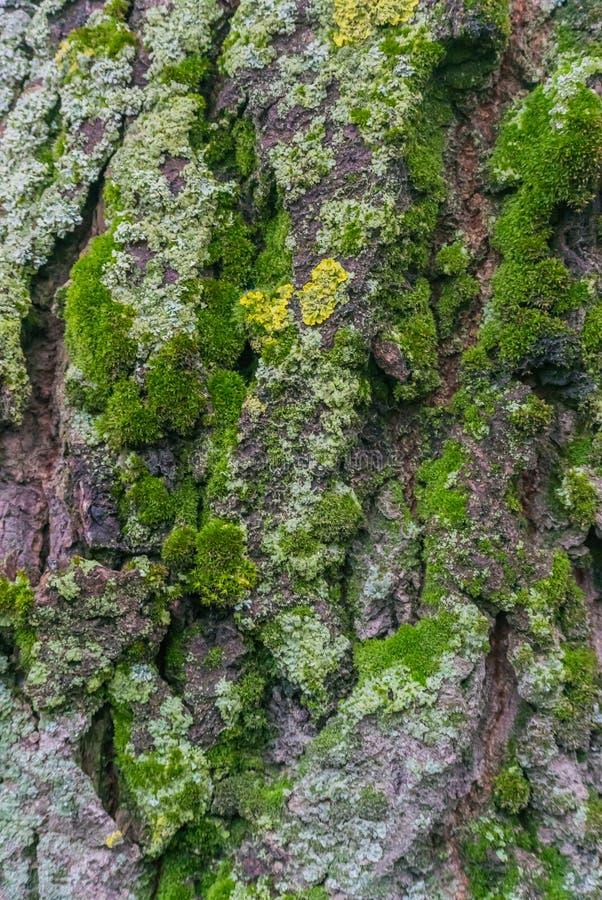 Pionowo fotografia czerep barkentyna stary drzewo zakrywający z zielonym i żółtym mech fotografia royalty free