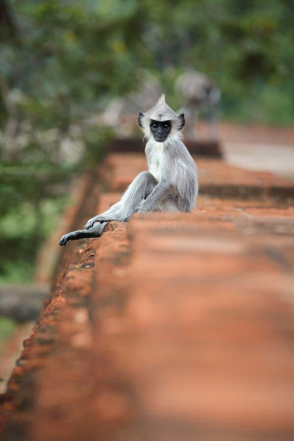Pionowo fotografia Szary langur, Semnopithecus entellus, dziecko zdjęcie stock