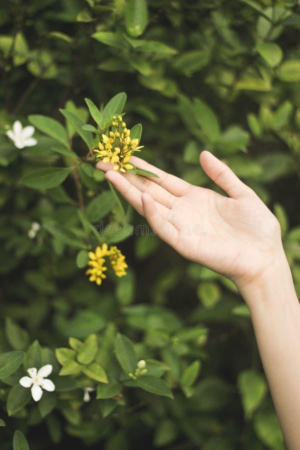 Pionowo strzał żeński macanie żółty kwiat z zamazanym naturalnym tłem zdjęcia royalty free