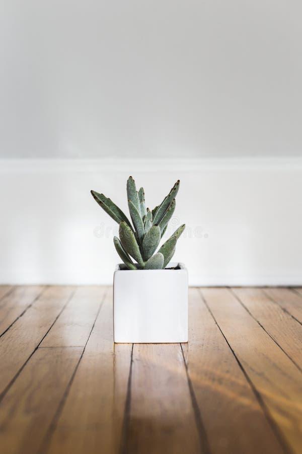Pionowo strzał agawy roślina w białym garnku na drewnianej powierzchni fotografia stock