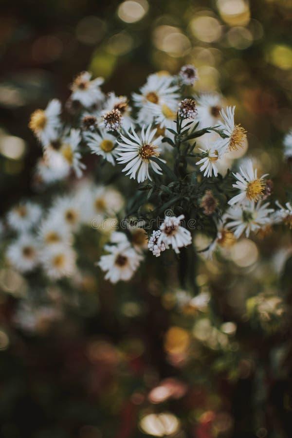 Pionowo strzał biały chamomile kwitnie z zamazanym naturalnym tłem fotografia royalty free