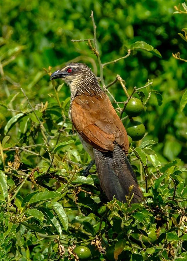 Pionowo strzał coucal ptasi obsiadanie na gałąź z zamazanym naturalnym tłem zdjęcia stock