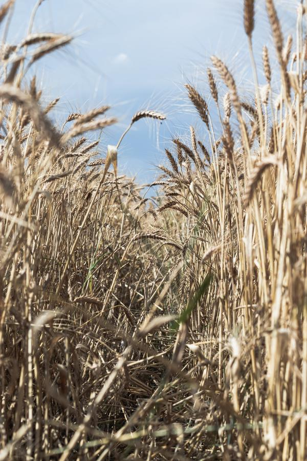 Pionowo strzał piękny pszeniczny pole z niebieskim niebem w tle zdjęcia stock