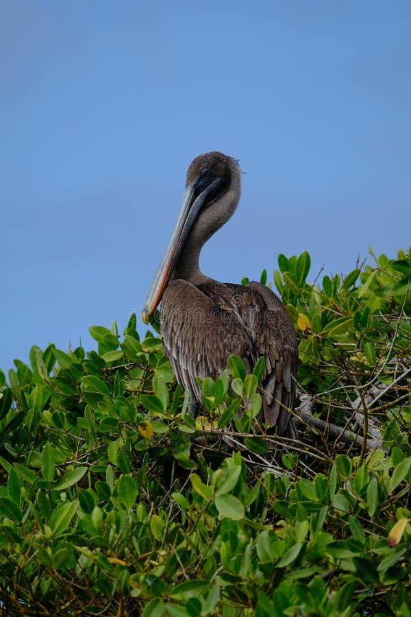 Pionowo strzału brązu pelikana obsiadanie na drzewie z niebieskim niebem w tle zdjęcie royalty free
