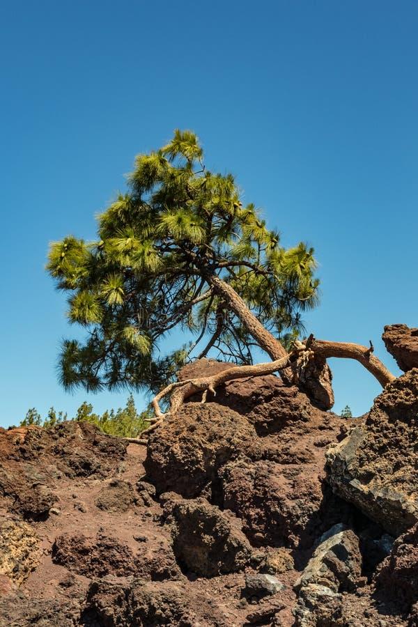 pionowo Unikalna sosna opiera w kierunku horyzontu, r prosto od kąsków i lawy w skały Jaskrawy niebieskie niebo, fotografia royalty free