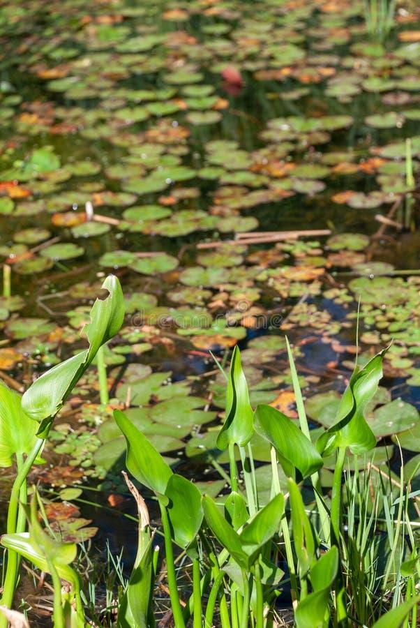 Pionowo w górę stawu z wodnymi lelujami zdjęcie stock