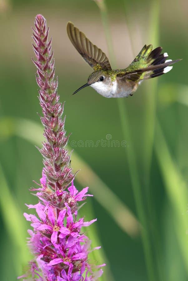 Pionowo wizerunek hummingbird karmienie od różowych kwiatów obraz royalty free