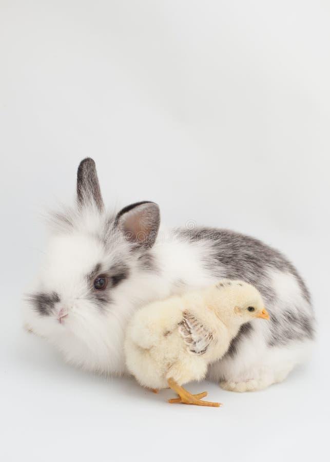 Pionowo wizerunek królik wpólnie puszysty dziecka kurczątko i na białym tle obrazy stock