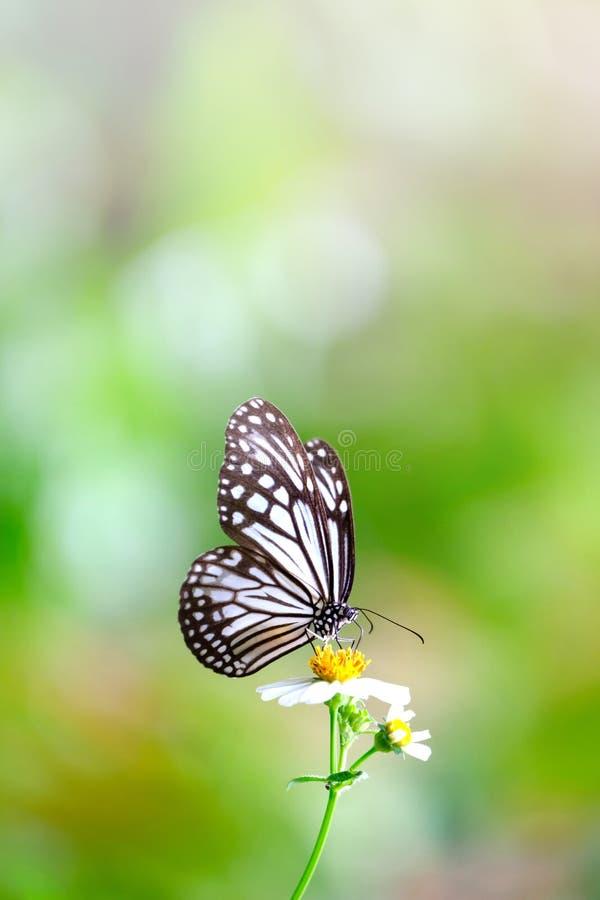 Pionowo wizerunek zakończenie w górę pięknego Pospolitego Szklistego Tygrysiego motyla ssa nektar zdjęcia royalty free
