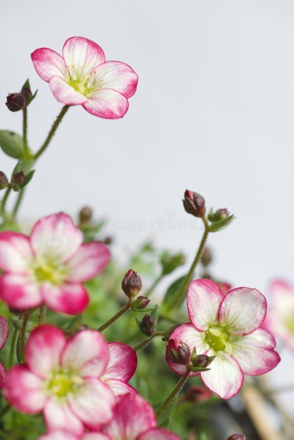 Pionowo zbliżenie biel i różowy mechaty badan kwitnie obraz royalty free