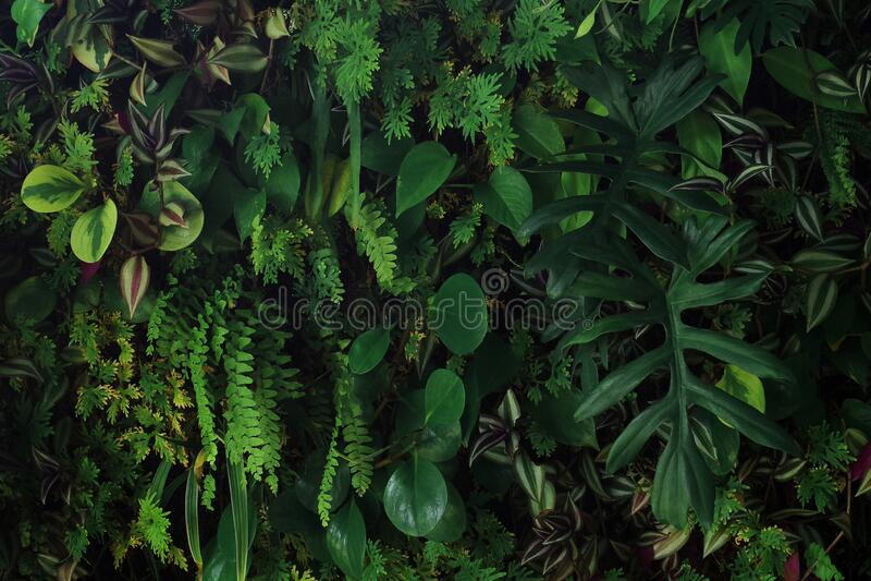 Pionowy ogród przyrody, żywy zielony mur w ogródku z różnymi tropikalnymi lasami deszczowymi roślinami liściowymi, diabelski blus obraz stock
