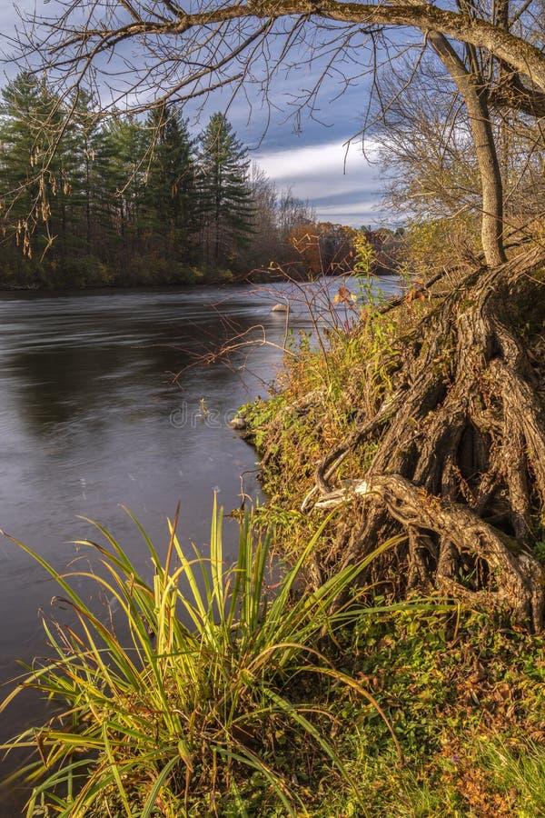Pionowy widok jesienny drzew korzeni i gałęzi w czasie zachodu słońca na West Canada Creek, Barneveld, Nowy Jork obraz royalty free