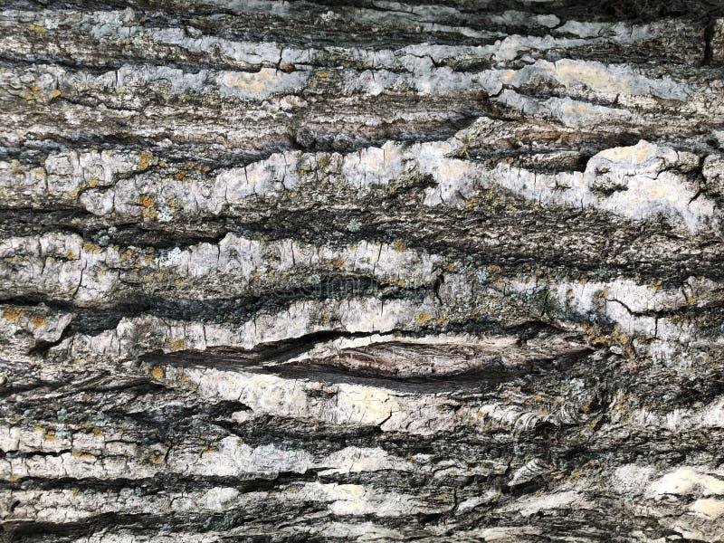 Pioppo, corteccia di albero Struttura di legno fotografia stock