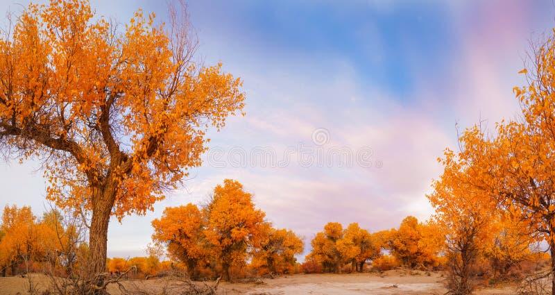 Pioppo di Eufrate in deserto immagini stock libere da diritti