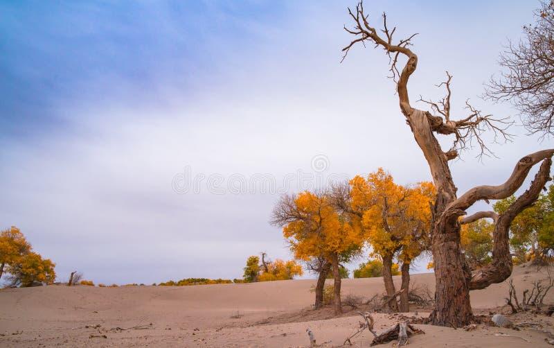 Pioppo di Eufrate in deserto fotografia stock