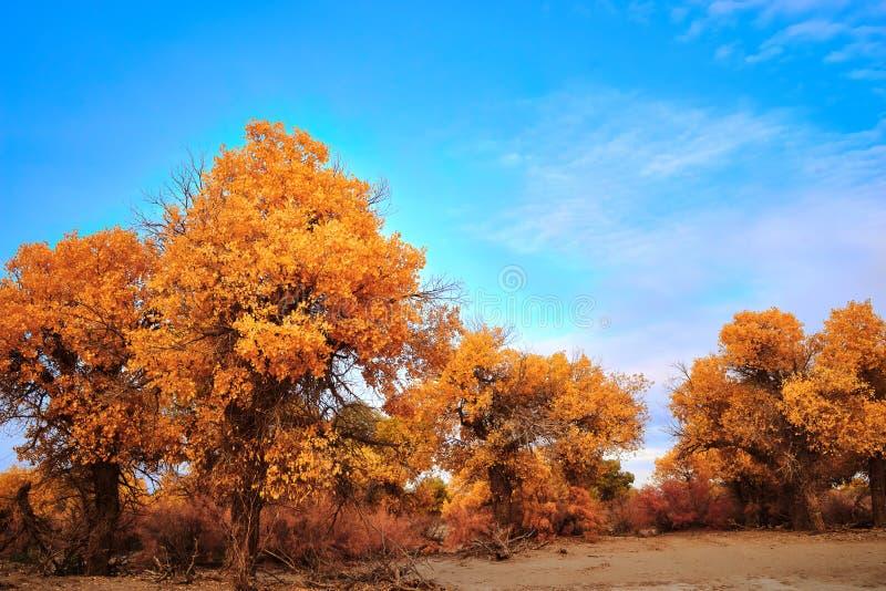 Pioppo di Eufrate in deserto immagini stock