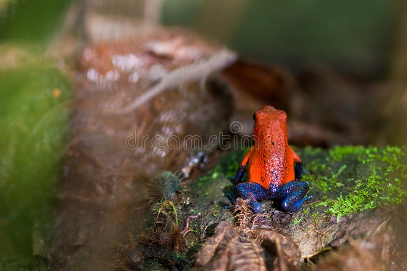 Piosonous Small Red And Blue Frog Royalty Free Stock Photography