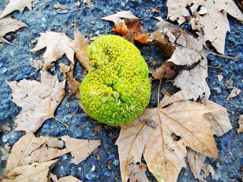 Piova la frutta verde a forma di, pomifera del Maclura (sa come arance di Osage) fotografia stock libera da diritti