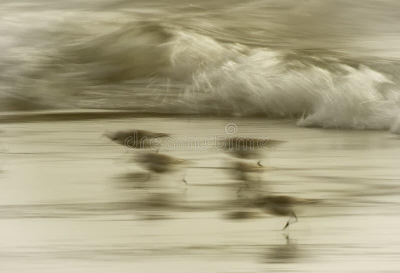 Piovanelli che corrono sulla riva fotografia stock libera da diritti