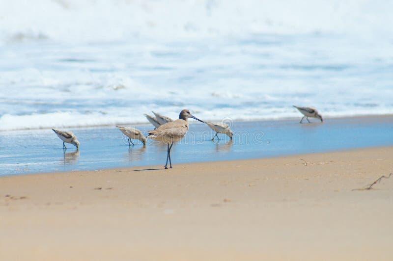 Piovanelli in un gruppo a Shoreline fotografie stock libere da diritti