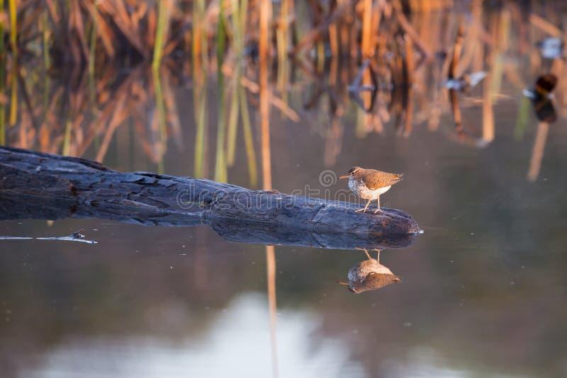 Piovanello maculato minuscolo sveglio in piume crescere che stanno nel profilo su una roccia che emerge da un lago immagini stock libere da diritti